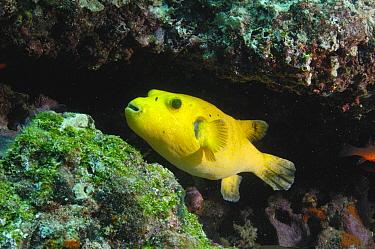 Guineafowl Pufferfish (Arothron meleagris), golden phase, Wolf Island, Galapagos Islands, Ecuador  -  Pete Oxford