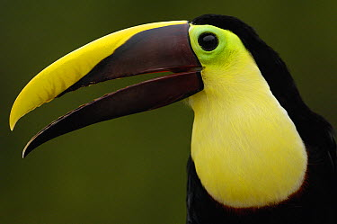 Chestnut-mandibled Toucan (Ramphastos swainsonii), Choco Forest, Ecuador  -  Pete Oxford