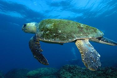 Loggerhead Sea Turtle (Caretta caretta) swimming, North Stradbroke Island, Australia  -  Pete Oxford