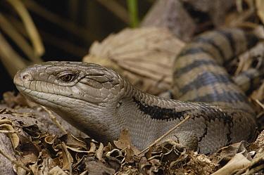 Eastern Blue-tongue Skink (Tiliqua scincoides), Brisbane, Australia  -  Pete Oxford