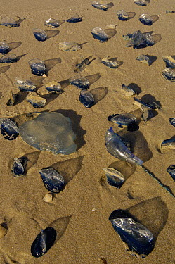 By-the-wind Sailor (Velella velella) group and other animals washed up on beach, North Stradbroke Island, Australia  -  Pete Oxford