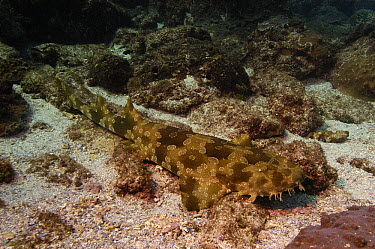 Spotted Wobbegong (Orectolobus maculatus) camouflaged on ocean bottom, North Stradbroke Island, Australia  -  Pete Oxford