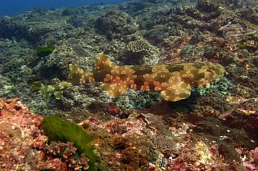 Spotted Wobbegong (Orectolobus maculatus) swimming near ocean bottom, North Stradbroke Island, Australia  -  Pete Oxford