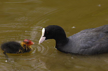 Coot (Fulica atra) parent and chick, Slimbridge Wildfowl and Wetlands Trust, England  -  Pete Oxford