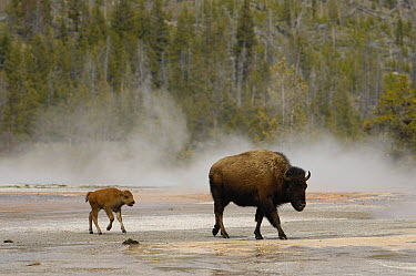 American Bison (Bison bison) mother with calf crossing bacterial mats, Yellowstone National Park, Wyoming  -  Pete Oxford
