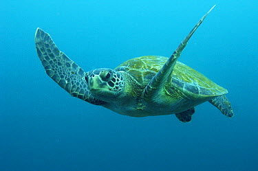 Green Sea Turtle (Chelonia mydas) swimming, Galapagos Islands, Ecuador  -  Pete Oxford