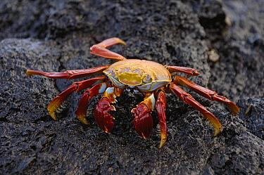Sally Lightfoot Crab (Grapsus grapsus) on volcanic rock, Santiago Island, Galapagos Islands, Ecuador  -  Pete Oxford