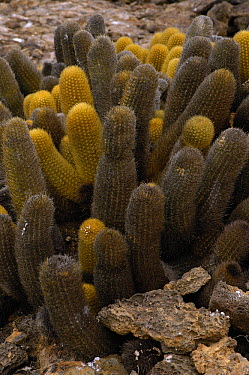 Lava Cactus (Brachycereus nesioticus) growing on the lava of Tower Island, Galapagos Islands, Ecuador  -  Pete Oxford