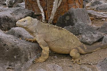 Santa Fe Land Iguana (Conolophus pallidus), Santa Fe Island, Galapagos Islands, Ecuador  -  Pete Oxford