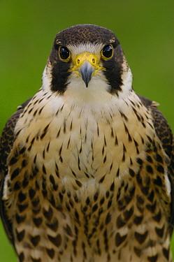Peregrine Falcon (Falco peregrinus) portrait, Ecuador  -  Pete Oxford