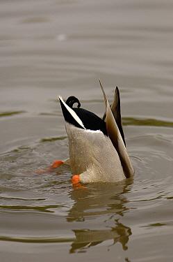 Mallard (Anas platyrhynchos) male dabbling, Slimbridge Wildfowl and Wetlands Trust, England  -  Pete Oxford