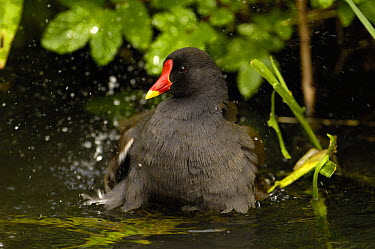 Common Moorhen (Gallinula chloropus) bathing, Slimbridge Wildfowl and Wetlands Trust, England  -  Pete Oxford