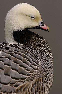 Emperor Goose (Anser canagicus), Slimbridge Wildfowl and Wetlands Trust, England  -  Pete Oxford