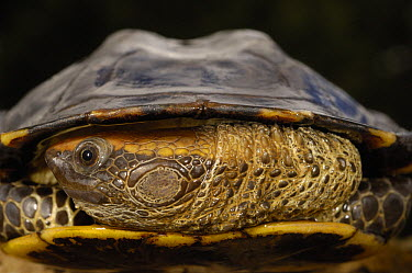 Twist-neck Turtle (Platemys platycephala) with appendages drawn into shell, Amazon Rainforest, Ecuador  -  Pete Oxford