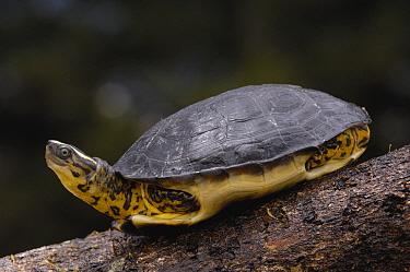 Colombian Wood Turtle (Rhinoclemys melanosterna) with legs drawn into shell, Amazon, Ecuador  -  Pete Oxford