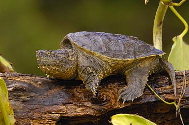Ecuadorian Snapping Turtle (Chelydra serpentina acutirostris), Ecuador  -  Pete Oxford