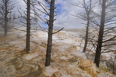 Dead trees in Mammoth Hot Springs travertine terraces, Yellowstone National Park, Wyoming  -  Pete Oxford