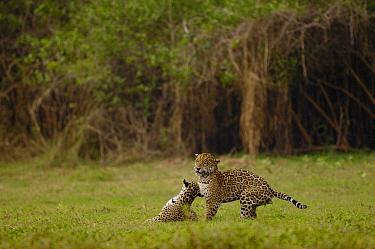 Jaguar (Panthera onca) mating pair, female snarling at male, Cuiaba River, Brazil  -  Pete Oxford