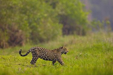 Jaguar (Panthera onca) female, Cuiaba River, Brazil  -  Pete Oxford