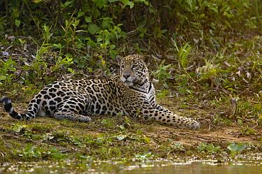Jaguar (Panthera onca) male on riverbank, Cuiaba River, Brazil  -  Pete Oxford