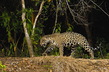 Jaguar (Panthera onca) female, Cuiaba River, Pantanal, Brazil  -  Pete Oxford