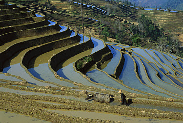 Farmer and buffalo in 3000 year old Yuanyang grand terraces, built by Hani people, Honghe Prefecture, Yunnan Province, China  -  Pete Oxford
