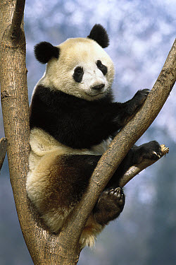 Giant Panda (Ailuropoda melanoleuca), Wolong Valley, China  -  Pete Oxford