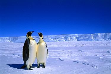 Emperor Penguin (Aptenodytes forsteri) pair, Flutter EP Rookery, Cape Darnley, Australian Antarctic Territory, Antarctica  -  Pete Oxford