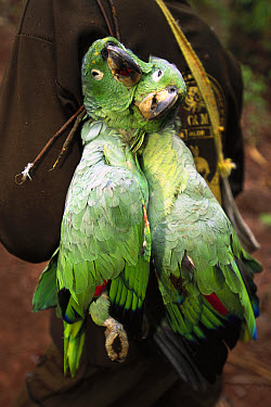 Mealy Parrot (Amazona farinosa) killed for food with a shotgun while feeding at Kirigueti clay lick, Urubamba River, Peru  -  Pete Oxford