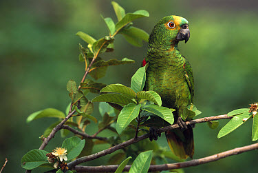 Blue-fronted Parrot (Amazona aestiva) perched in tree, Piaui State, northeast Brazil  -  Pete Oxford