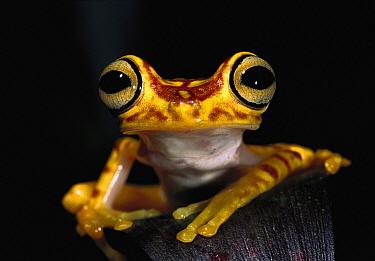 Chachi Tree Frog (Hyla picturata) portrait, Cotacachi-Cayapas Reserve, Ecuador  -  Pete Oxford