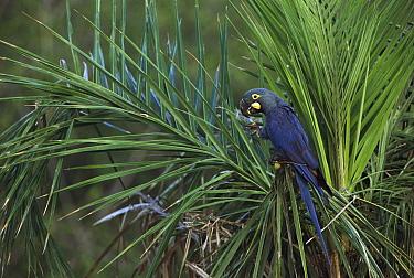 Lear's Macaw (Anodorhynchus leari) in Licuri Palm (Syagrus coronata), Caatinga, Bahia State, Brazil  -  Pete Oxford