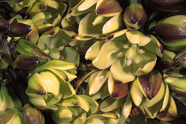 Mojave Yucca (Yucca schidigera) flower, Anza-Borrego State Park, California  -  Pete Oxford