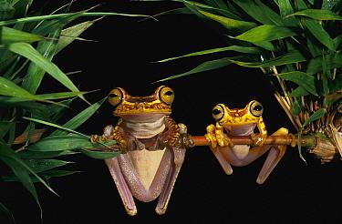 Chachi Tree Frog (Hyla picturata) pair, Cotacachi-cayapas Reserve, northwest Ecuador  -  Pete Oxford