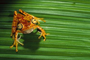 Chachi Tree Frog (Hyla picturata), Cotacachi-Cayapas Reserve, northwest Ecuador  -  Pete Oxford