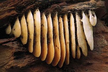 Honey Bee (Apis mellifera) colony on hive in Caatinga habitat, Bahia State, Brazil  -  Pete Oxford