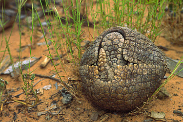 Brazilian Three-banded Armadillo (Tolypeutes tricinctus) rolls into a protective ball when threatened, endemic to Cerrado and Caatinga habitats, Brazil  -  Pete Oxford