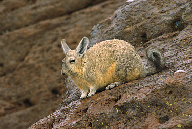 Southern Viscacha (Lagidium viscacia) sitting on rock, altiplano, Bolivia  -  Pete Oxford