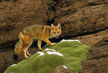 Andean Red Fox (Pseudalopex culpaeus) altiplano, Bolivia  -  Pete Oxford