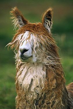 Alpaca (Lama pacos) altiplano, Bolivia  -  Pete Oxford