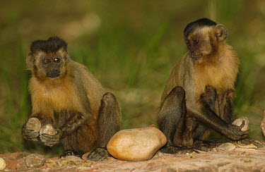 Brown Capuchin (Cebus apella) pair sitting on anvil used to crack open Piassava Palm (Attalea funifera) nut, monkey on left knocking nuts together to test for freshness, Cerrado habitat, Piaui State,...  -  Pete Oxford