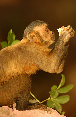 Brown Capuchin (Cebus apella) in tree drinking from Piassava Palm (Attalea funifera) nut, monkeys use rocks and anvils to crack open nuts, Cerrado habitat, Piaui State, Brazil  -  Pete Oxford