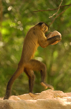 Brown Capuchin (Cebus apella) using a rock to crack open a Piassava Palm (Attalea funifera) nut, Cerrado habitat, Piaui State, Brazil  -  Pete Oxford
