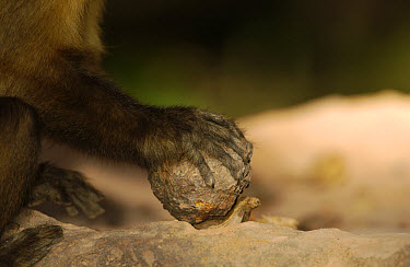 Brown Capuchin (Cebus apella) cracking Piassava Palm (Attalea funifera) nut, on ground to crack open using a heavy rock, Cerrado habitat, Piaui State, Brazil  -  Pete Oxford