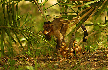 Brown Capuchin (Cebus apella) picking Piassava Palm (Attalea funifera) nuts, to take to anvil and crack open using rocks, Cerrado habitat, Piaui State, Brazil  -  Pete Oxford