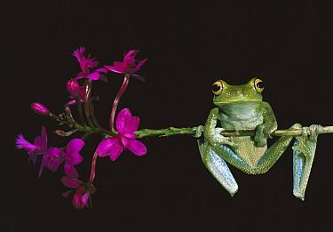 Cloud Forest Tree Frog (Hyla pellucens) balancing on flower stem, Mindo cloud forest, Ecuador  -  Pete Oxford