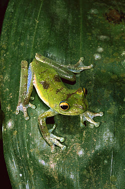 Cloud Forest Tree Frog (Hyla pellucens) camouflaged on leaf, Mindo cloud forest, Ecuador  -  Pete Oxford