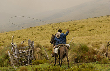 Chagra cowboy on an overnight ride at a hacienda to herd cattle practicing with his lasso, Andes Mountains, Ecuador  -  Pete Oxford