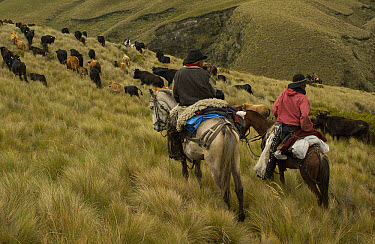 Two Chagra cowboys on an overnight ride at a hacienda to herd cattle, Andes Mountains, Ecuador  -  Pete Oxford