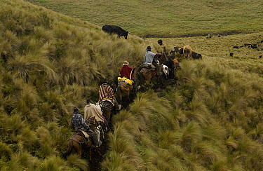 Chagra cowboys on an overnight ride at a hacienda to herd cattle, Andes Mountains, Ecuador  -  Pete Oxford